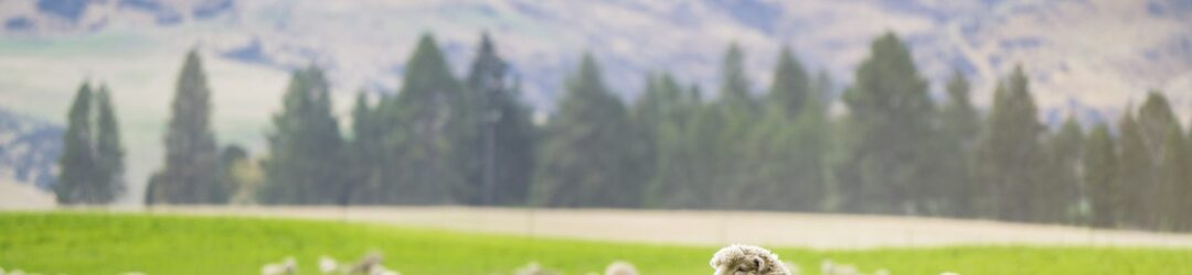 Sheep in the field in New Zealand